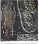 Pseudaphanostoma herringi