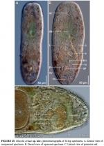 Otocelis erinae