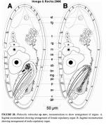 Philocelis robrochai
