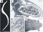 Boninia neotethydis
