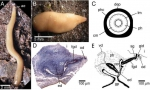 Microplana robusta. (?D) Specimens from Fragas do Eume: (A), extended living animal during movement; (B) living animal, resting; (C) diagrammatic transverse section through the pharynx, showing the arrangement of the rows of longitudinal and circular muscles; (D) holotype ZMA V.Pl. 6857.1, sagittal section of the copulatory apparatus; anterior to the left. (E) Holotype ZMA V.Pl. 6857.1, sagittal reconstruction of the copulatory apparatus; anterior to the left.