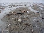gewone otterschelpen