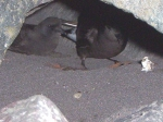 Pair of Wilson's Storm Petrel at nest