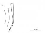 Brachyrhynchus triplostylis