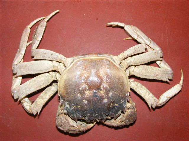 Chinese wolhandkrab