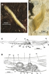 Prosthiostomum siphunculus