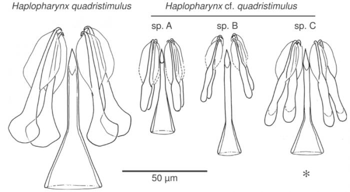 Haplopharynx spp.
