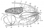 D. hastatus