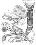 C. clitellatus