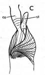 Castrella alba