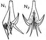 Castrella groenlandica