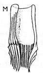 Castrella vernalis