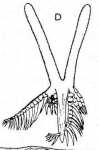 Dalyellia tatrica czarnohorica