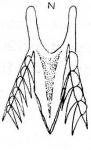 Microdalyellia abursalis