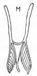 M. pugiofera