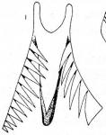 M. rossi var. virginiana