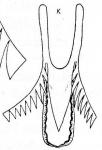 M. rossi var. maxima