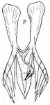 M. tennesseensis