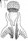 M. variospinosa