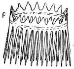 G. bicoronaria