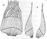 Gieysztoria knipovici