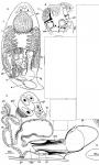 Gieysztoria 9-spinosa