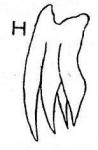 G. quadridendensoides