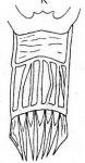 Gieysztoria rubra caucasica