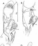 Gieysztoria euchroa