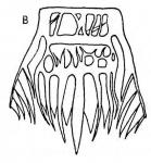 G. triangulata