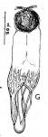 Gieysztoria acariaia