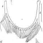 Fulinskiella lapponica