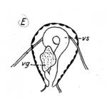 P. achaeorum