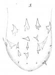 P. clavigera