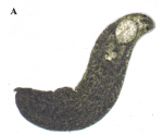 P. evelinae