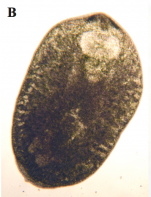 P. foliacea