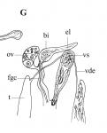 P. gracilis