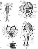 P. kepneri
