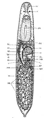 P. lutheri