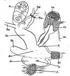 P. subsalina