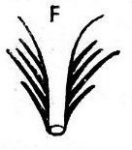Dalyellia groenlandica
