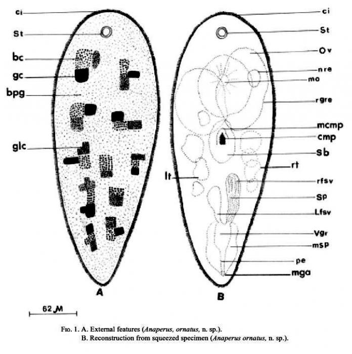 Anaperus ornatus