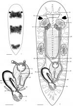 Miroplana shenzhensis