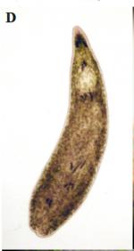 P. aglobulata