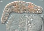 Myozonaria fissipara