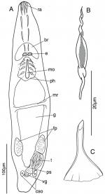 Myomacrostomum rubrioculum