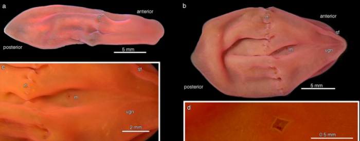 Xenoturbella hollandorum