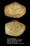 Panopea japonica