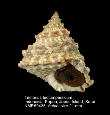 Tectarius tectumpersicum