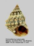 Echinolittorina tuberculata
